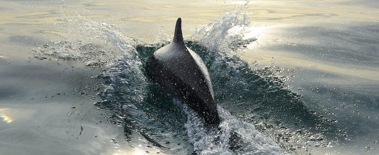 Une association qui assure depuis 2007 le suivi des grands dauphins en mer de la Manche
